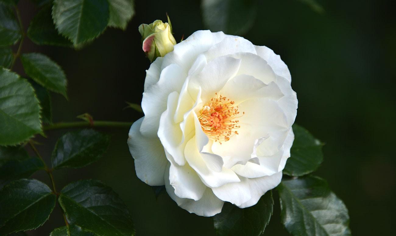 2018_rose