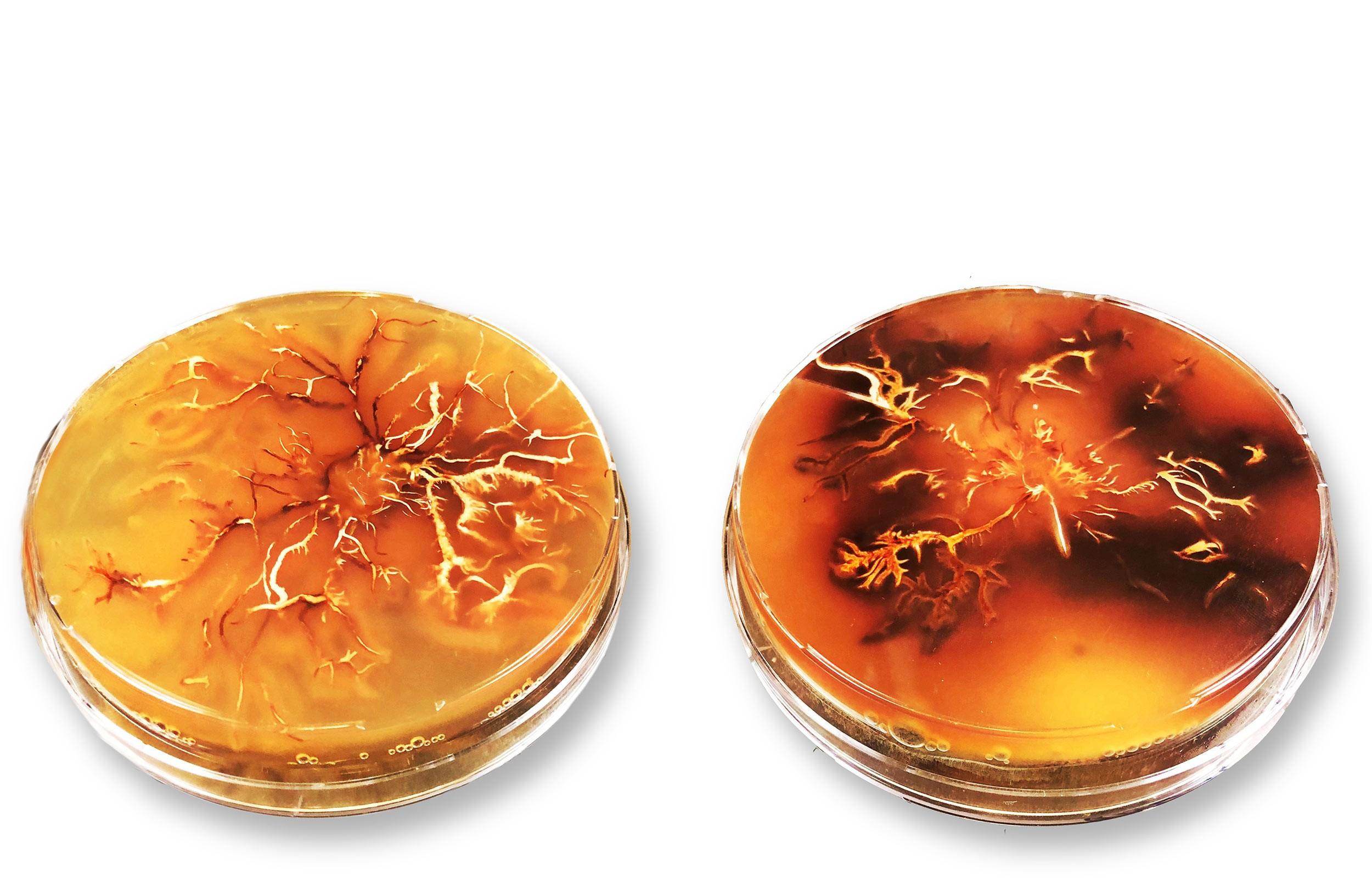 Pilzkultur von Armillaria cepistipes in der Petrischale.
