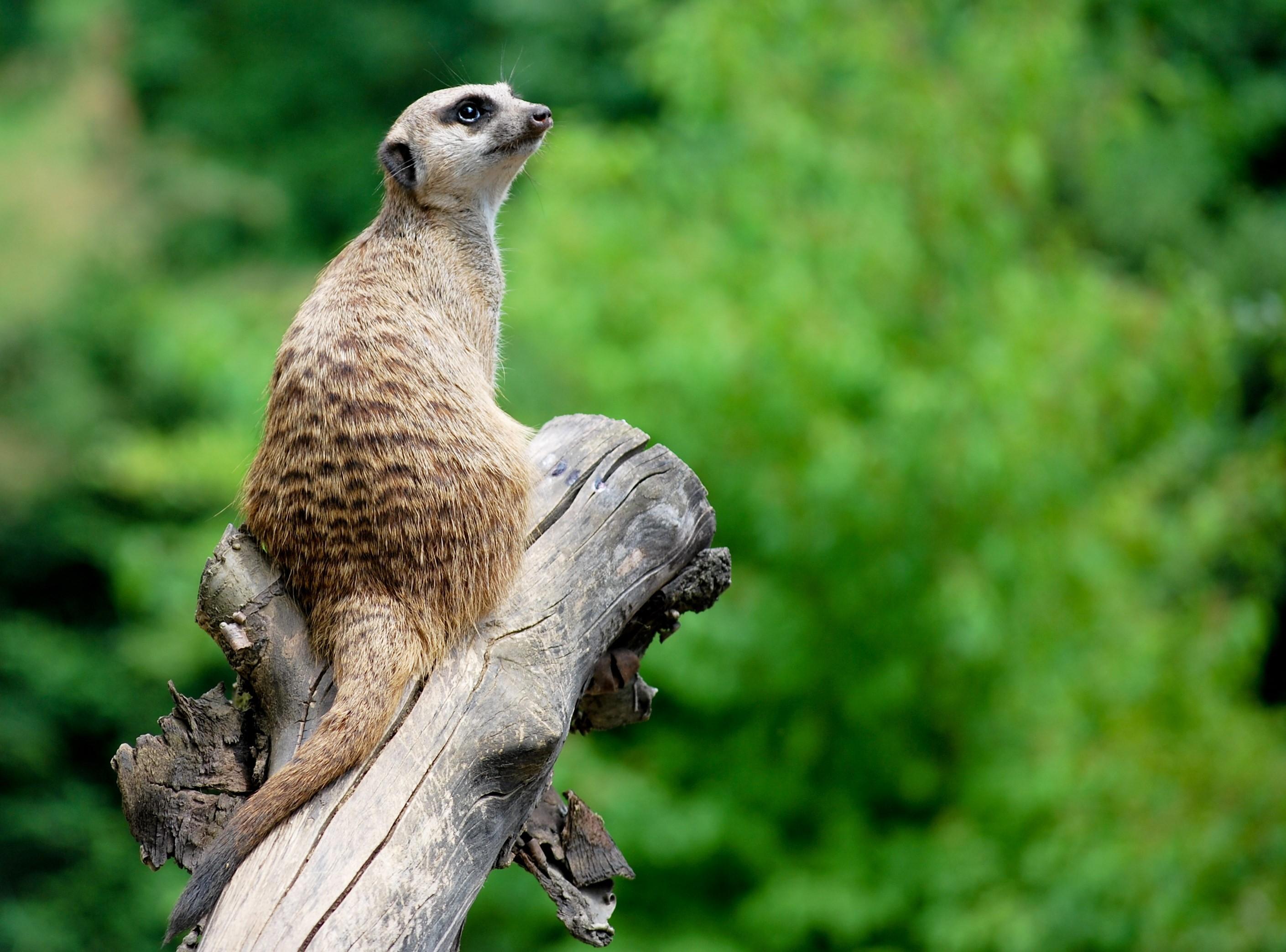 Erdmännchem Zoo Basel