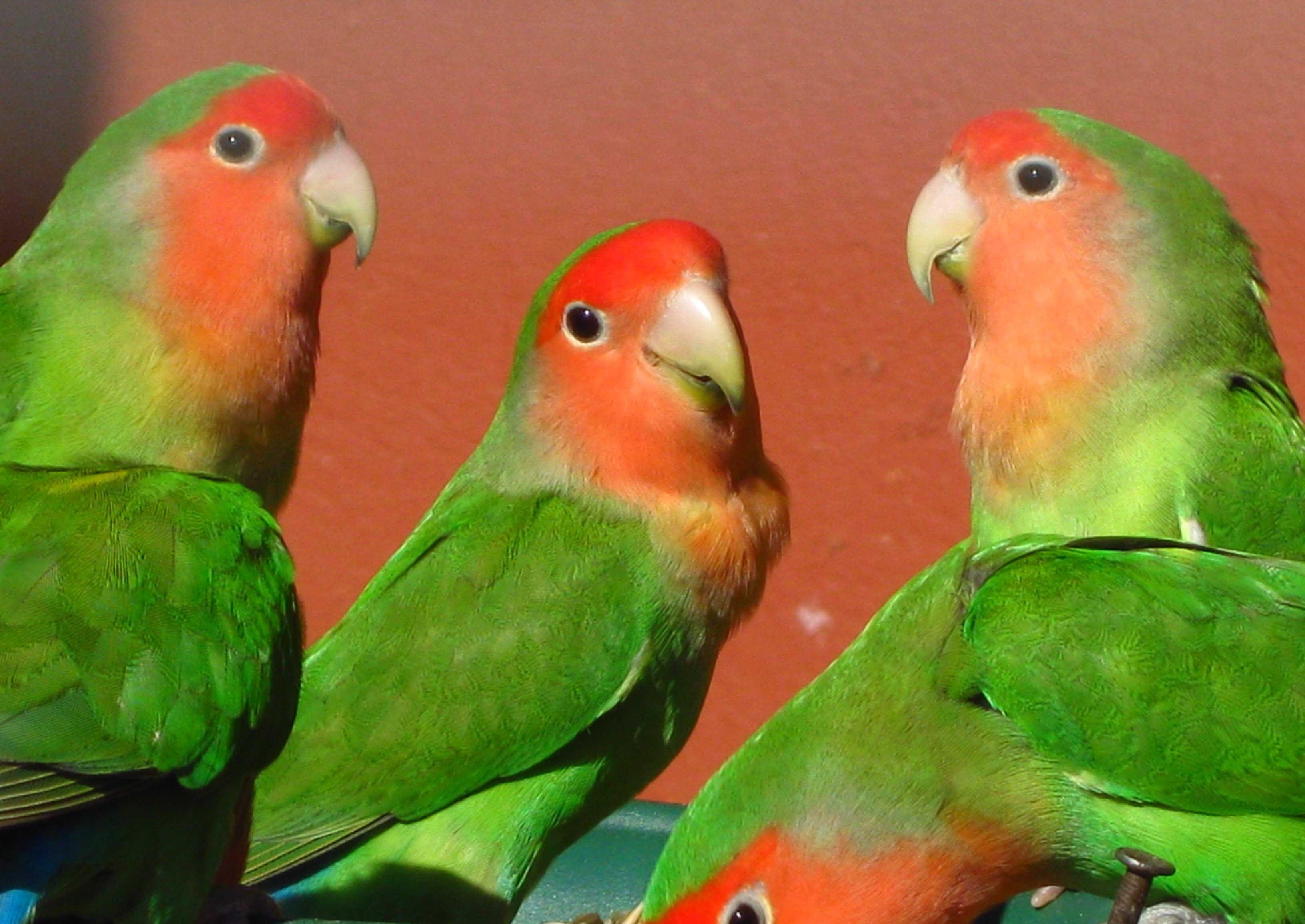 Rosenköpfchen-Papageien