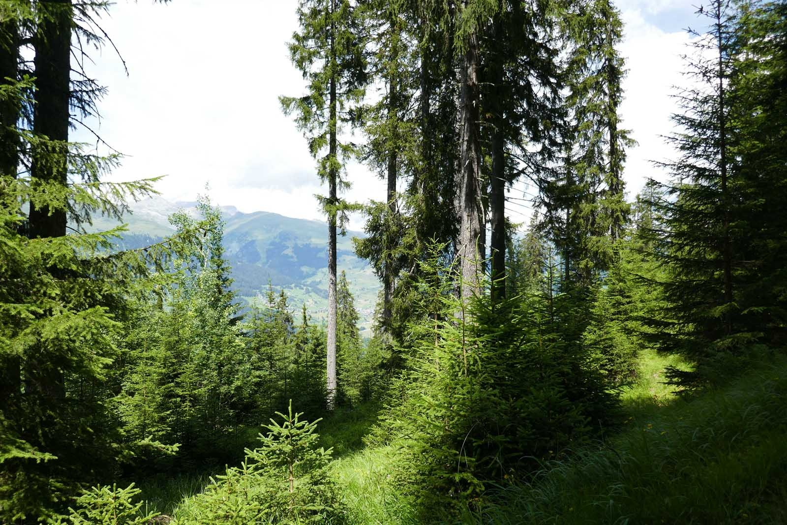 Wald in Graubünden