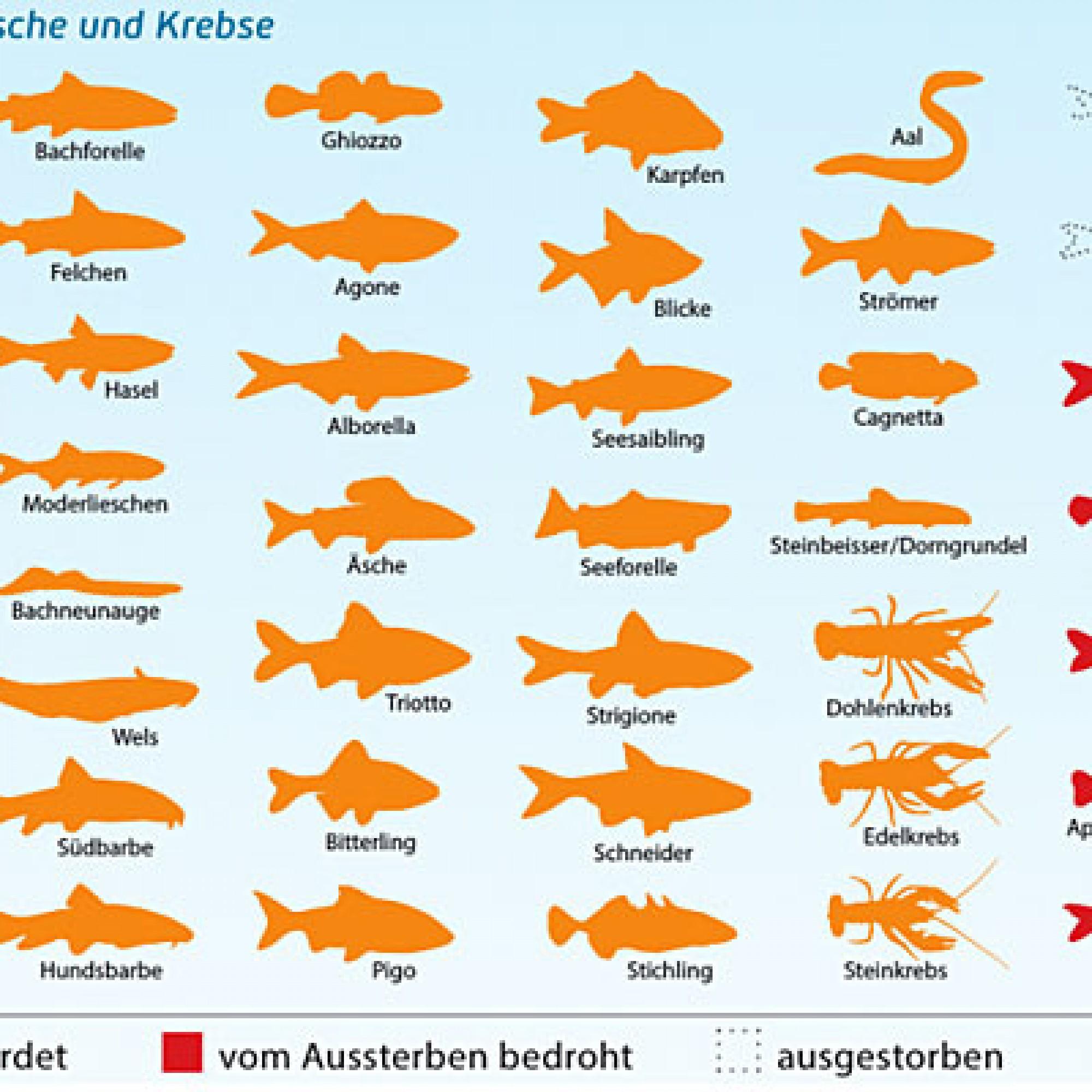 Schweizer Fischfauna (Bild: Aqua Viva)