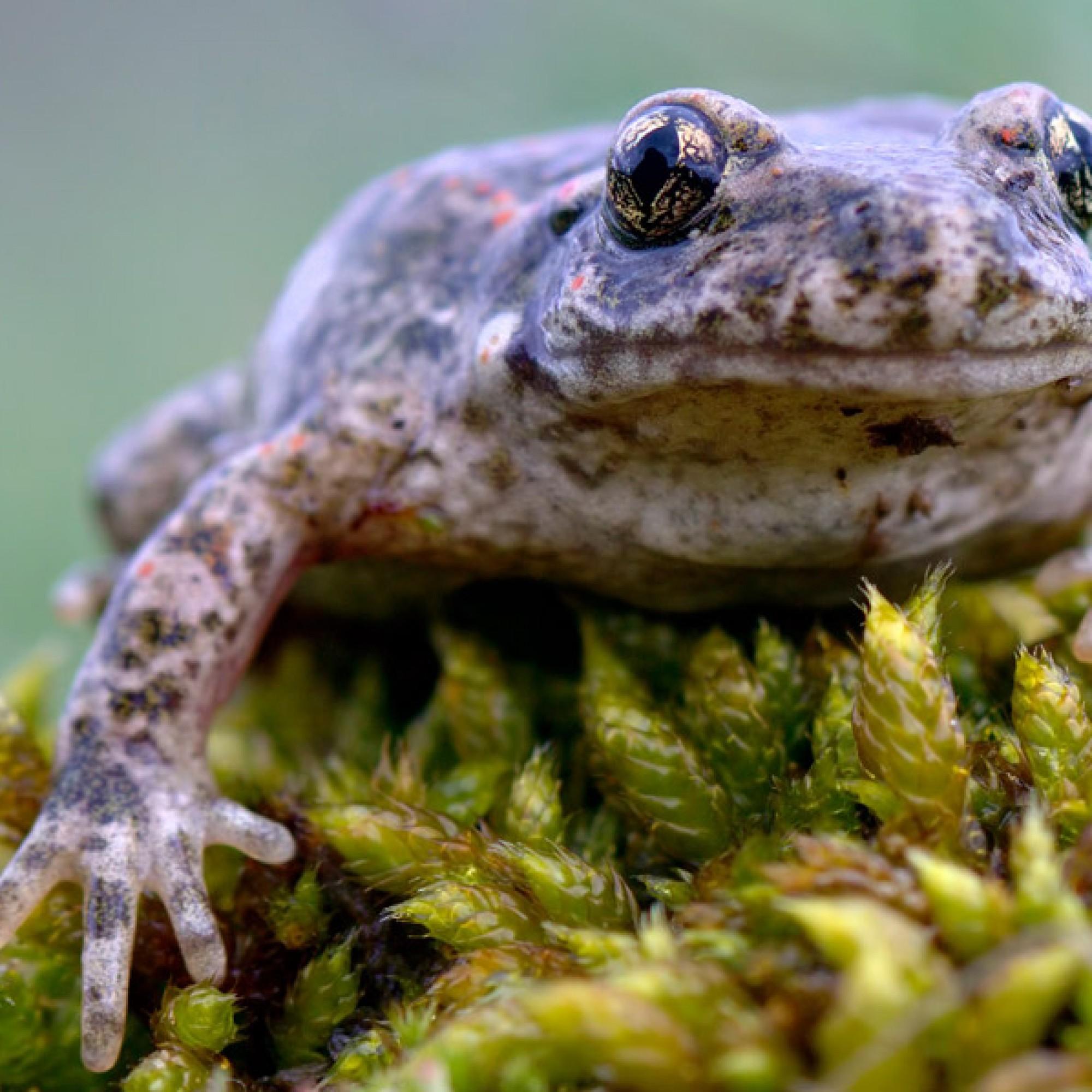 Der Glögglifrosch war 2013 von Pro Natura zum Tier des Jahres erklärt worden. (Felix Reimann, wikimedia.org, CC)