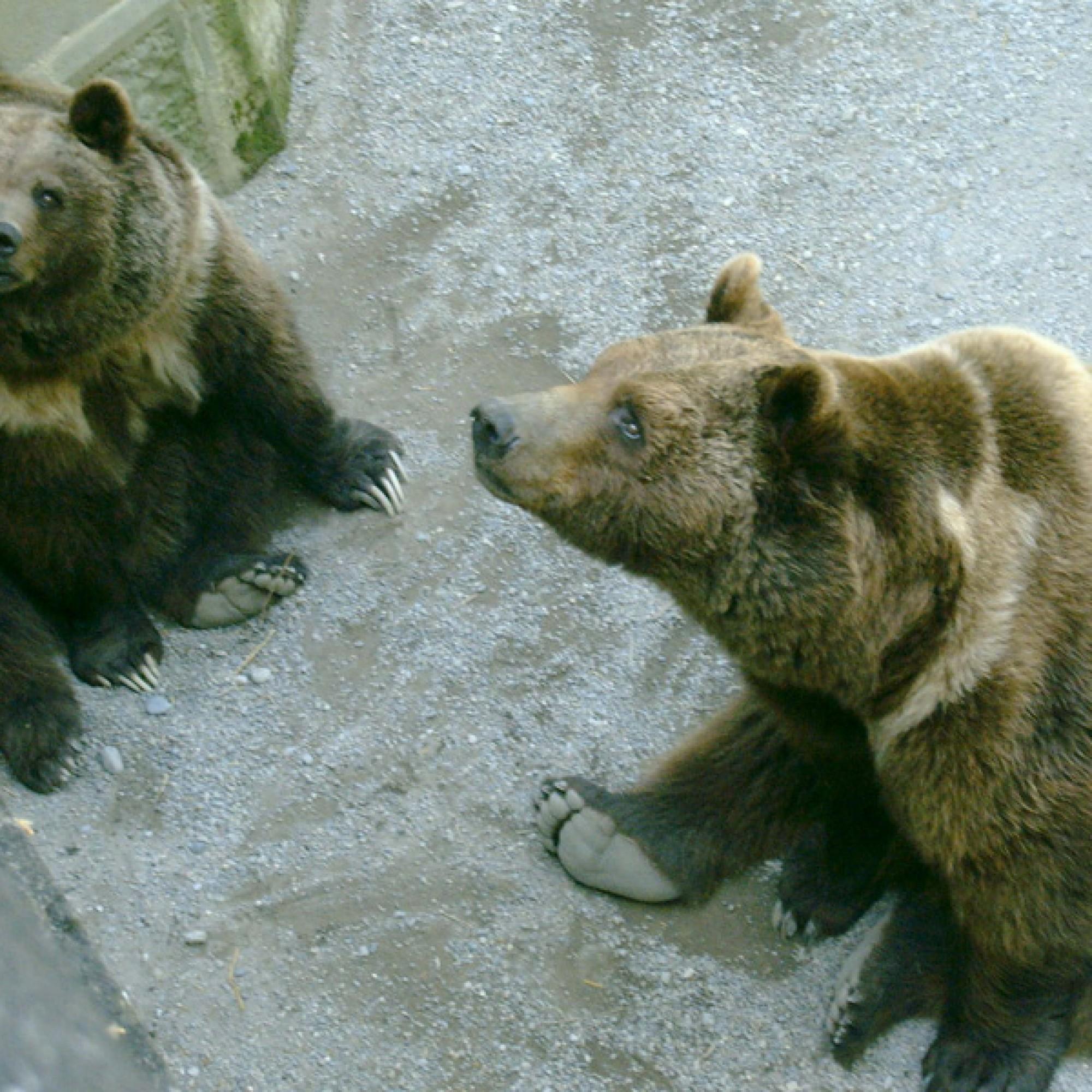 Berner Bären (wikimedia.org, Krls, CC)
