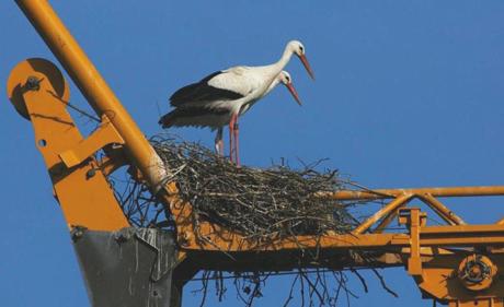 Die beiden Turtelstörche haben das Nest fertig gebaut. (Natur- und Vogelschutzverein Kaiseraugst)
