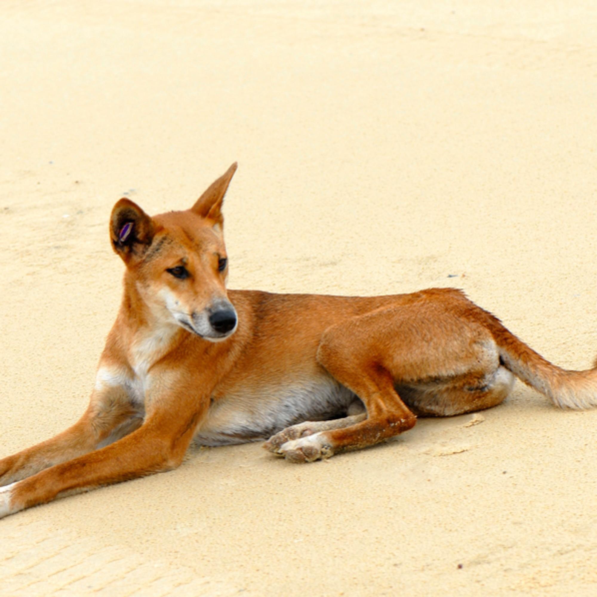 Sie soll der Zaun von Weiden fern halten: Dingos. (Sam Fraser-Smith, Flickr, CC)