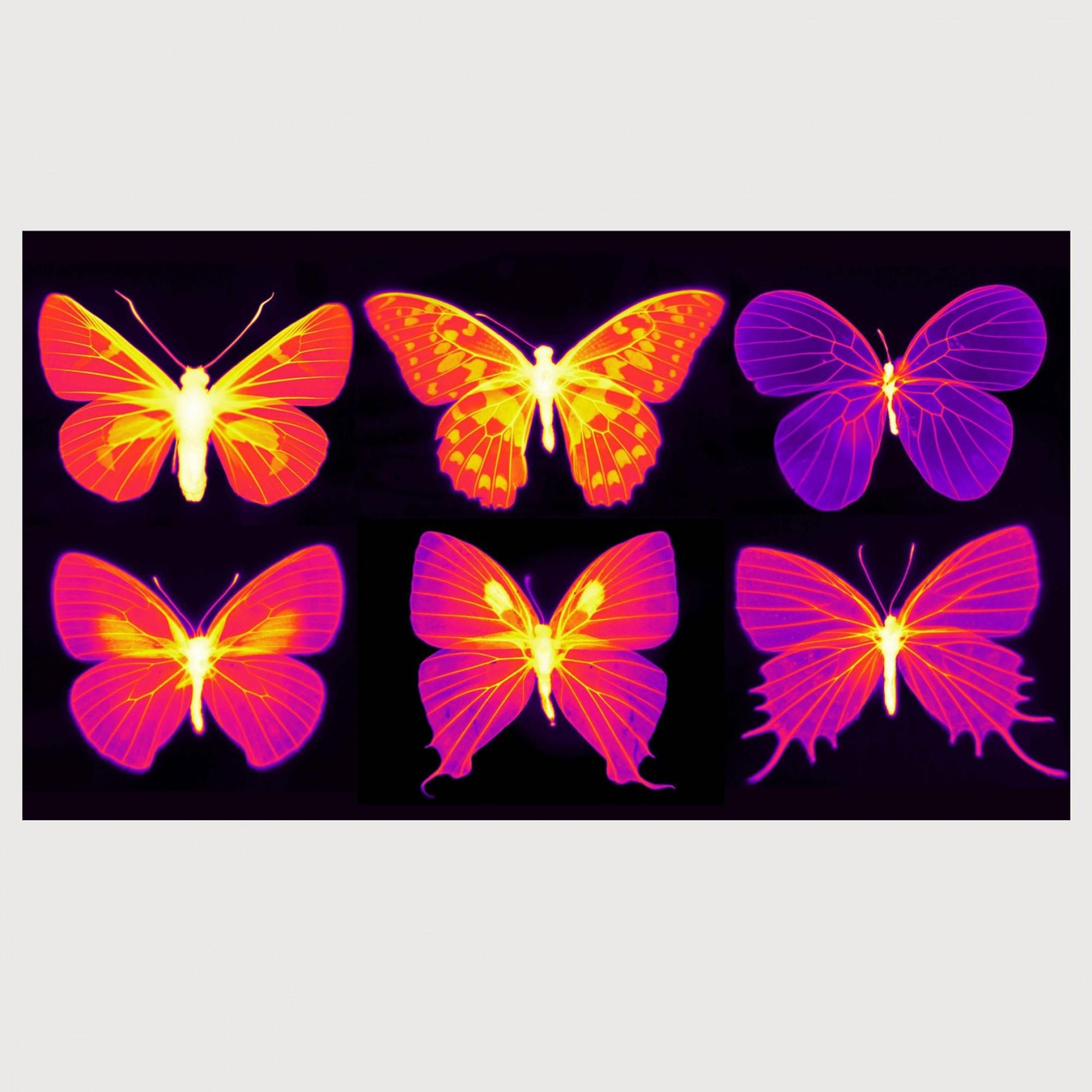 Infrarotaufnahme, Schmetterlinge.