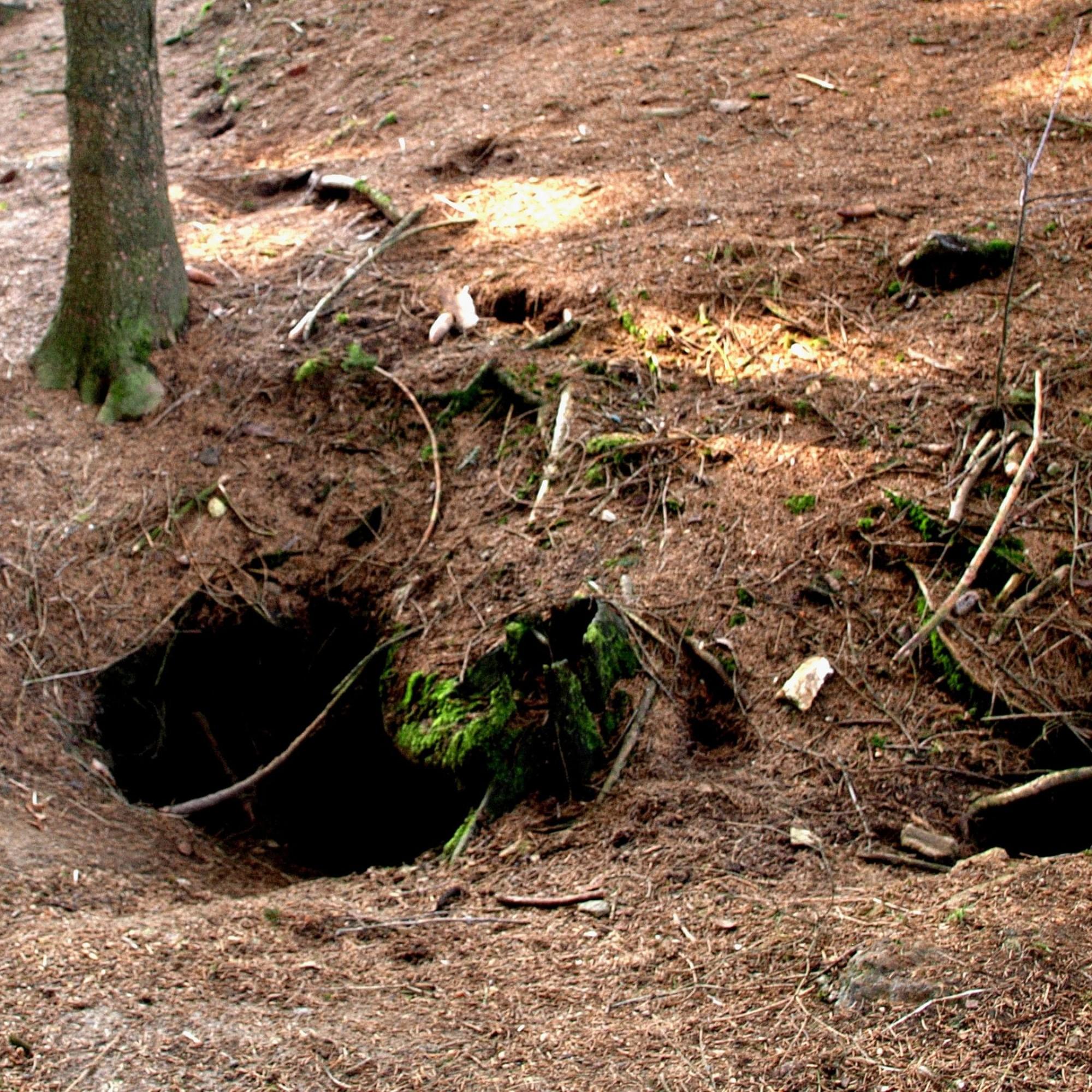 Dachs-Höhlen im Wald