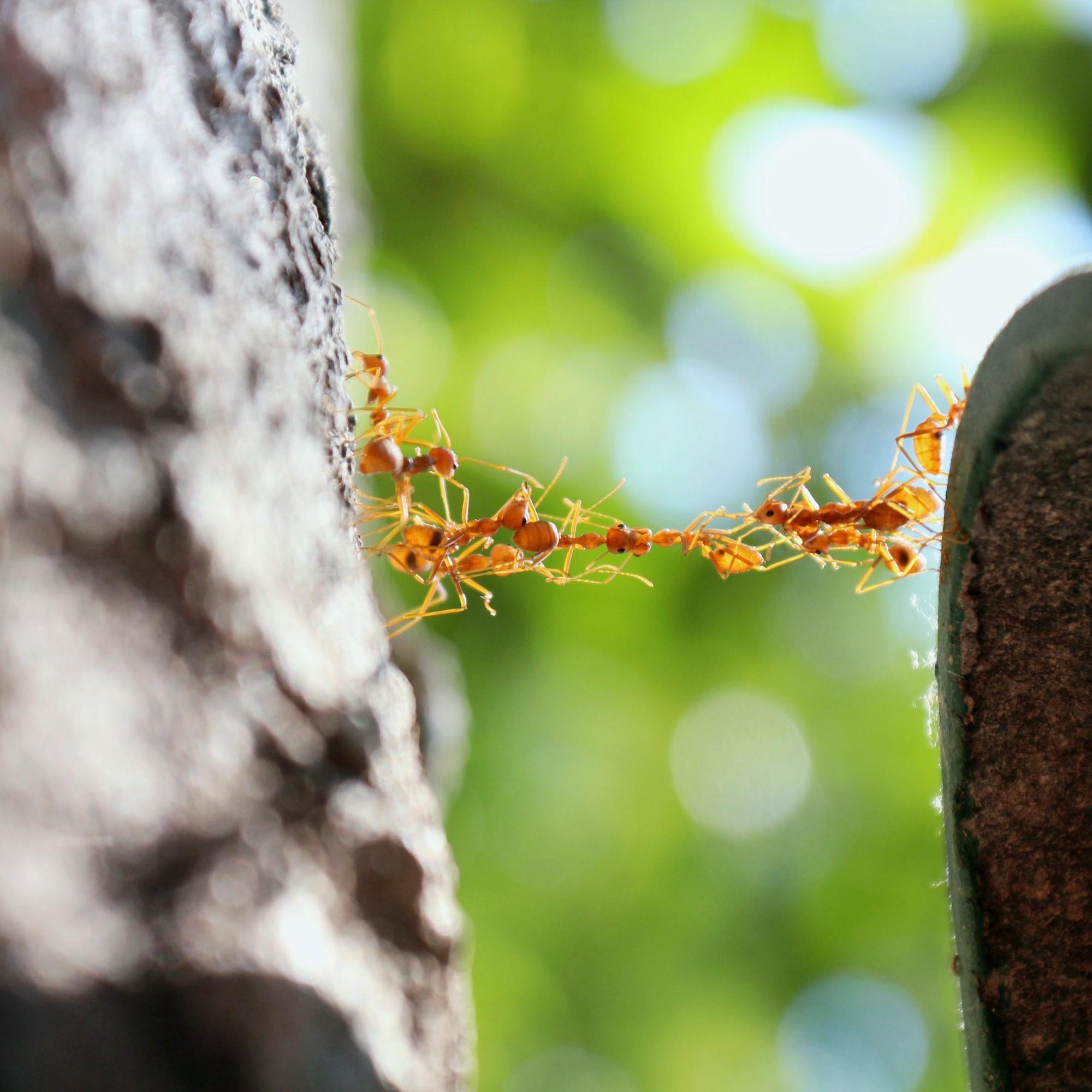 Ameisen bilden eine Brücke