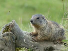 Murmeltiere bedrohen die Sicherheit des Tannensee-Damms.