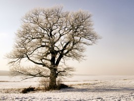 Eiche im Winter