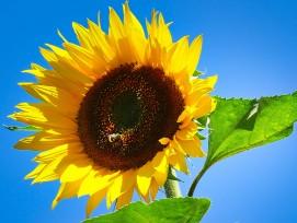 Sonneblume (Symbolbild)