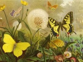 Schmetterlinge (Brehms Tierleben)