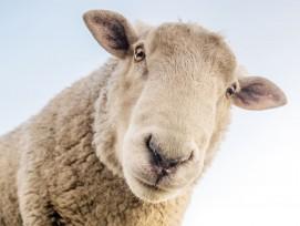 Schaf (Symbolbild)