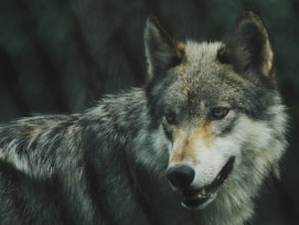 2120_wolf