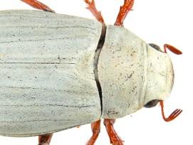 Das hauchdünne Schuppenkleid des Käfers könnte ein Vorbild für neuartige Lacke sein. (imdap.entomol.ntu.edu.tw)