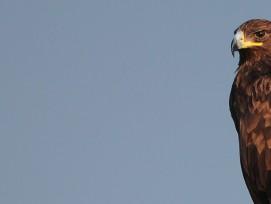 Kaiseradler, GimpRider, flickr CC