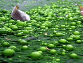 Teich voller Algen, Symbolbild