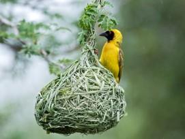 Pro Jahr bauen Maskenweber bis zu 25 Nester, die jeweils aus Schilf, Grasoder anderen Pflanzenfasern bestehen. Für den Bau eines einzigen Unterschlupfs braucht der intelligente Vogel etwa fünf Tage.