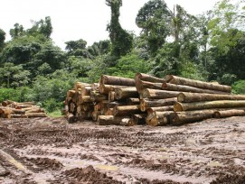 Tropenholz, gefällte Urwaldriesen
