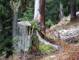 Vorbildlicher Schutzwald: Ein junger Baum wächst im Ritzinger Bawald auf natürliche Weise aus einem alten Baumstrunk.
