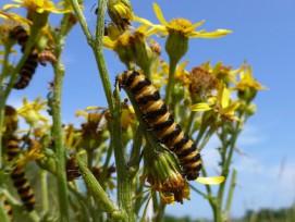 Mit der neu entwickelten Vorhersagemethode lässt sich beispielsweise ermitteln, ob Raupen vom Jakobskrautbär (Tyria jacobaeae) ihren Speiseplan auch auf nicht-einheimische Jakobskräuter ausdehnen.