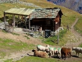 Immer weniger Alpen werden bewirtschaftet, einige aber umso intensiver. Im Bild: Alp bei Zinal VS.