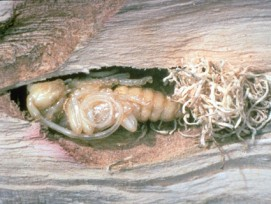 Larven statt Käfer: Wegen des zweijährigen Entwicklungszyklus des Asiatischen Laubholzbockkäfers wurden in Winterthur heuer elf dieser Larven entdeckt.