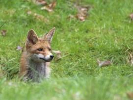 Der Rotfuchs darf sich freuen: In Wettingen entsteht kein künstlicher Fuchsbau zum Training von Jagdhunden.