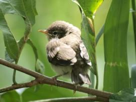 Gefährdet: Eine neue Studie kommt zum Schluss, dass der europäische Vogelbestand dramatisch sinkt. Im Bild: Junger Zilpzalp.