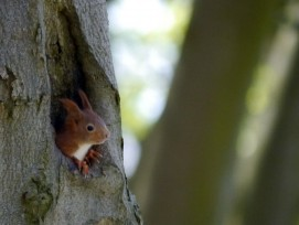 Eichhörnchen.