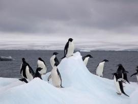 Adeliepinguine auf einem Eisberg,