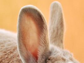 Hasen-Ohren