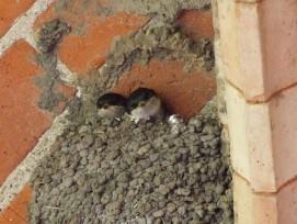 Zwei junge Mehlschwalben im Nest.