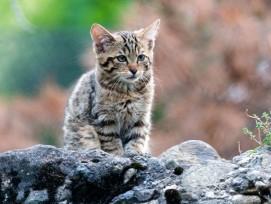 Junge Wildkatze im Tierpark Goldau