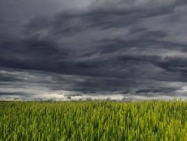 Weizenfald vor Gewitterhimmel.