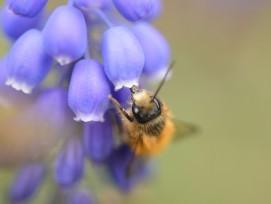 Rote Mauerbiene unter einer Traubenhyazinthe.