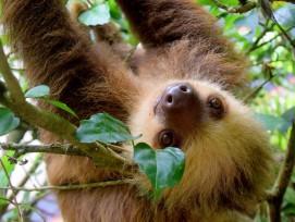 Faultier an einem Baum in Costa Rica.