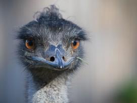 Emu (Symbolbild)