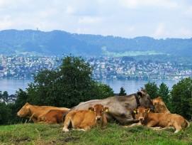 Kühe auf einer Wiese bei Zollikon mit Blick auf den Zürichsee.